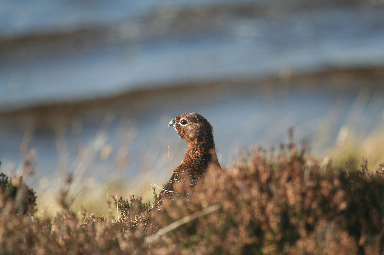 Red_Grouse_2954268645